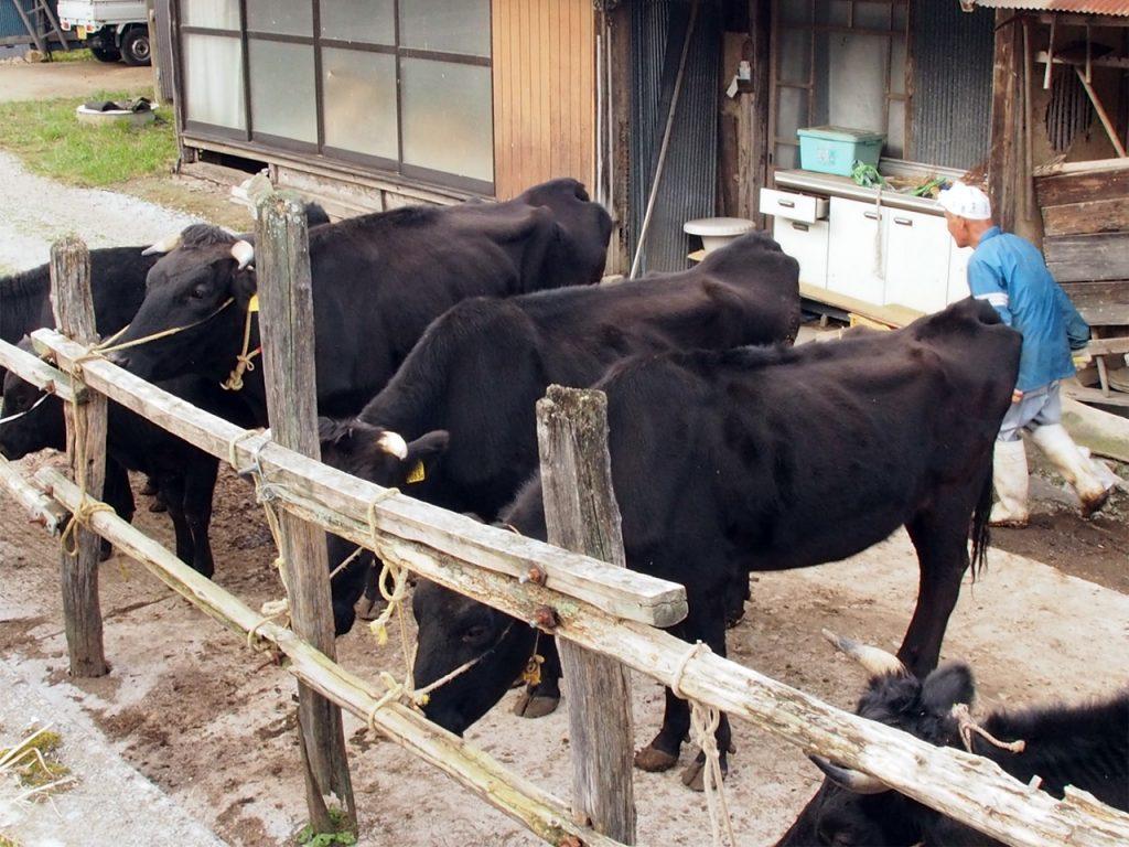 平田五美氏、飼養の蔓牛牛群